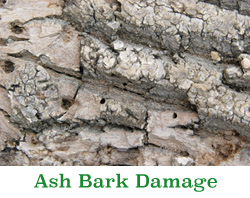 Coon Rapids Emerald Ash Borer Damage