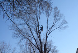 Tree restoration Minneapolis