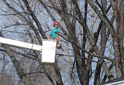 Bethel, MN Tree Pruning Photo