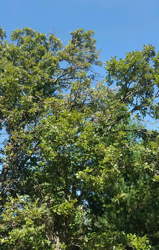 trim your Oak trees