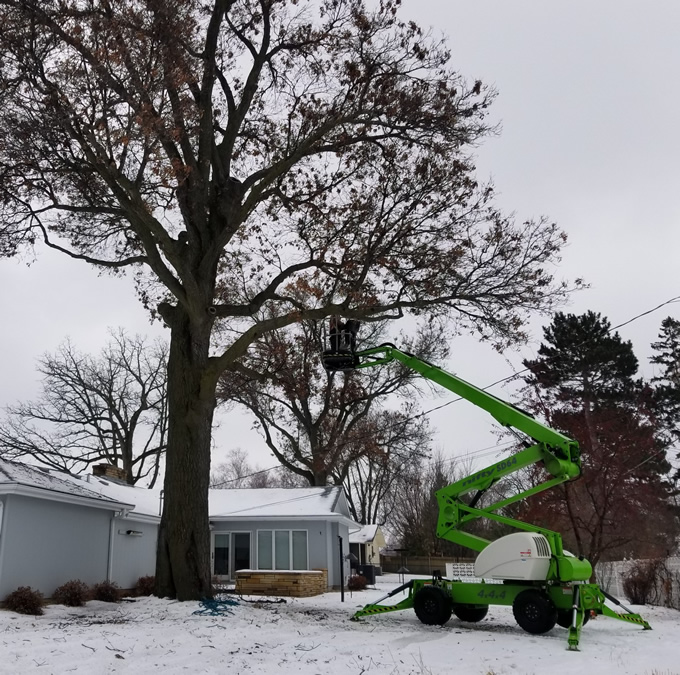 Winter Oak Tree Trimming